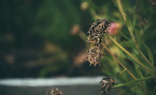 Ringblommans fröer har torkat och gått i frövila.