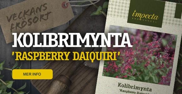 Veckans frösort - KOLIBRIMYNTA 'Raspberry Daiquiri'