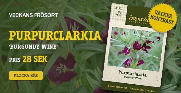 Veckans frösort - Purpurclarkia
