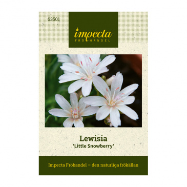 Lewisia 'Little Snowberry'