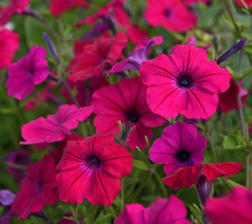 Rondellpetunia F1 'Tidal Wave Cherry'