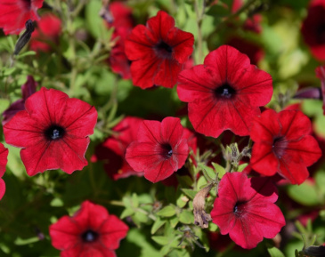 Rondellpetunia F1 'Tidal Wave Red Velour'