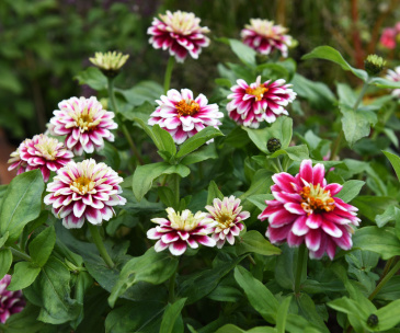 Marylandzinnia 'Zahara Double Raspberry Ripple'