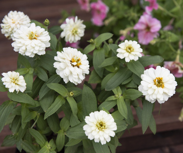 Marylandzinnia 'Zahara Double White'