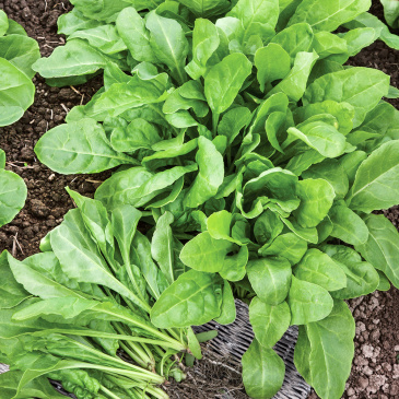 Mangold 'Perpetual Spinach'